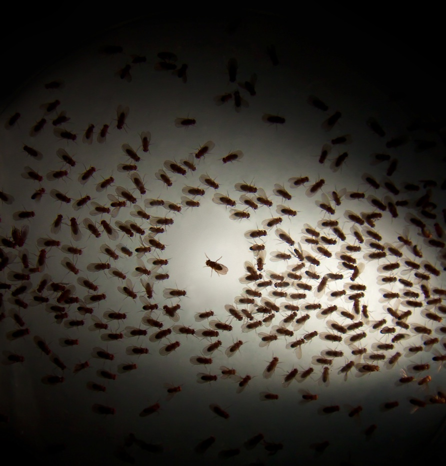 a group of flies moving toward a light source, with a single fly moving in the opposite direction
